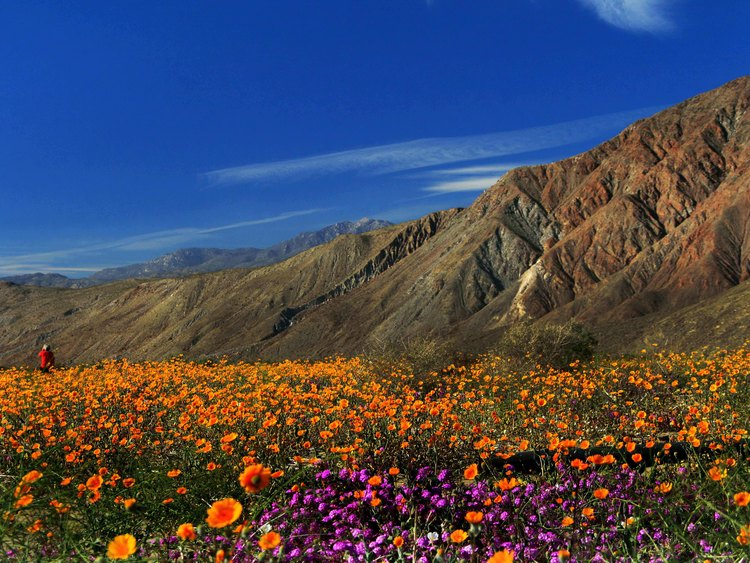 Borrego springs ca where desert wildflowers spring to life joanne joanne dibona mightylinksfo Images
