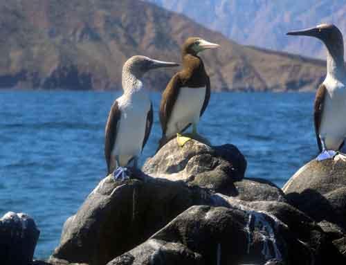Midriff-Islands,-Gulf-of-California,-Blue-and-Yellow-Footed-Boobies.jpg