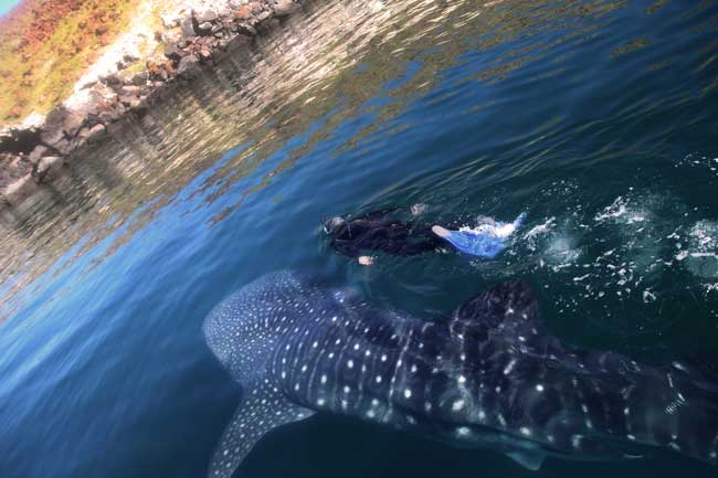 Bahia.de.Los.Angeles.Swimming.with.Whale.Sharks.001.jpg