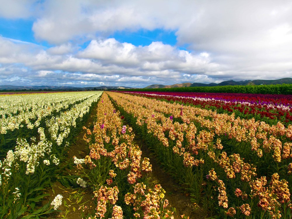 Lompoc's Glorious Flower Fields, © Joanne DiBona