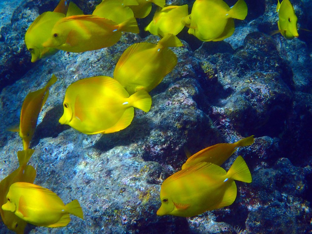 Snorkeling The Big Island's Coral Reefs   © Joanne DiBona