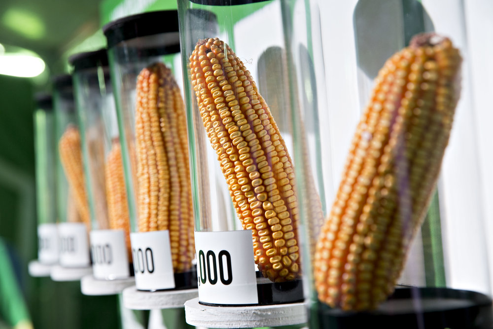 Cobs of GMO corn sit on display in the Monsanto Co. booth during the Farm Progress Show in Decatur, Illinois, U.S., on Tuesday, Aug. 29, 2017. The show, sponsored by Farm Progress Co. and owned by Penton Media, is billed as the largest outdoor farm show in the U.S. Photographer: Daniel Acker/Bloomberg