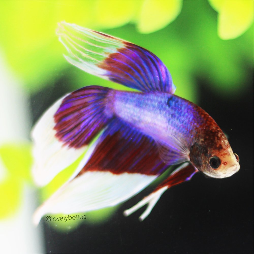 Home lovelybettas for Baby betta fish