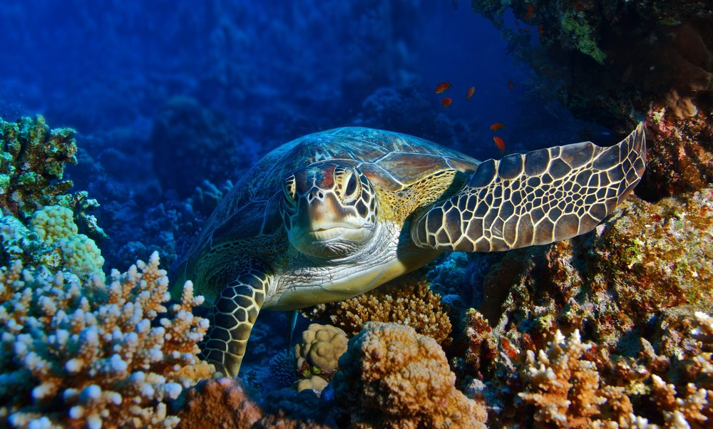 Sea Turtle. Source: Willyam Bradberry, Shutterstock.com