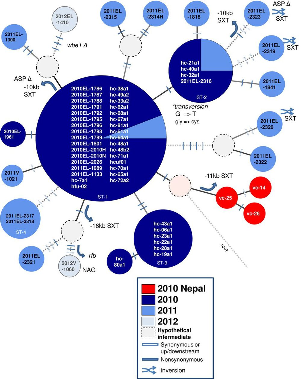 The radiation of numerous lineages of V. cholerae O1 strains from a single sequence type that predominated in the early part of the Haiti cholera epidemic (from Katz et al., 2013)