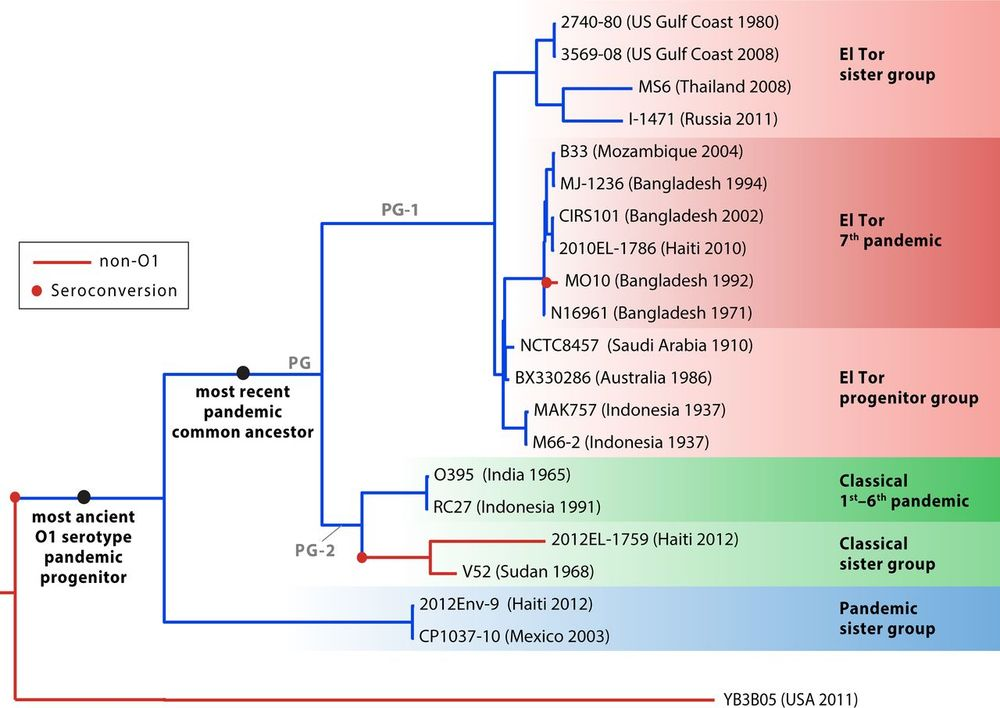 Phylogenetic relationships of pandemic  V. cholerae  strains and their relatives (from  Boucher, 2016 )