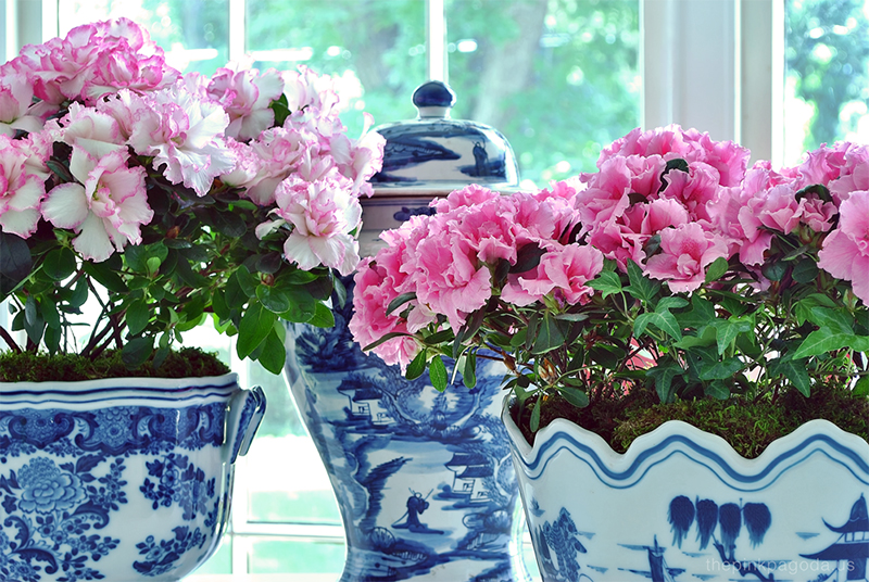 pink azaleas in blue and white planters plus a ginger jar