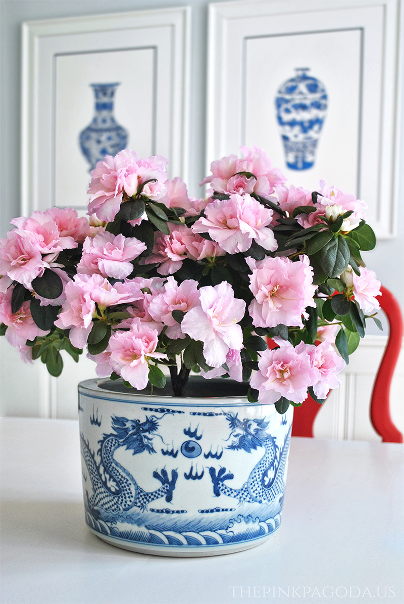 pale pink azaleas in blue and white dragon planter