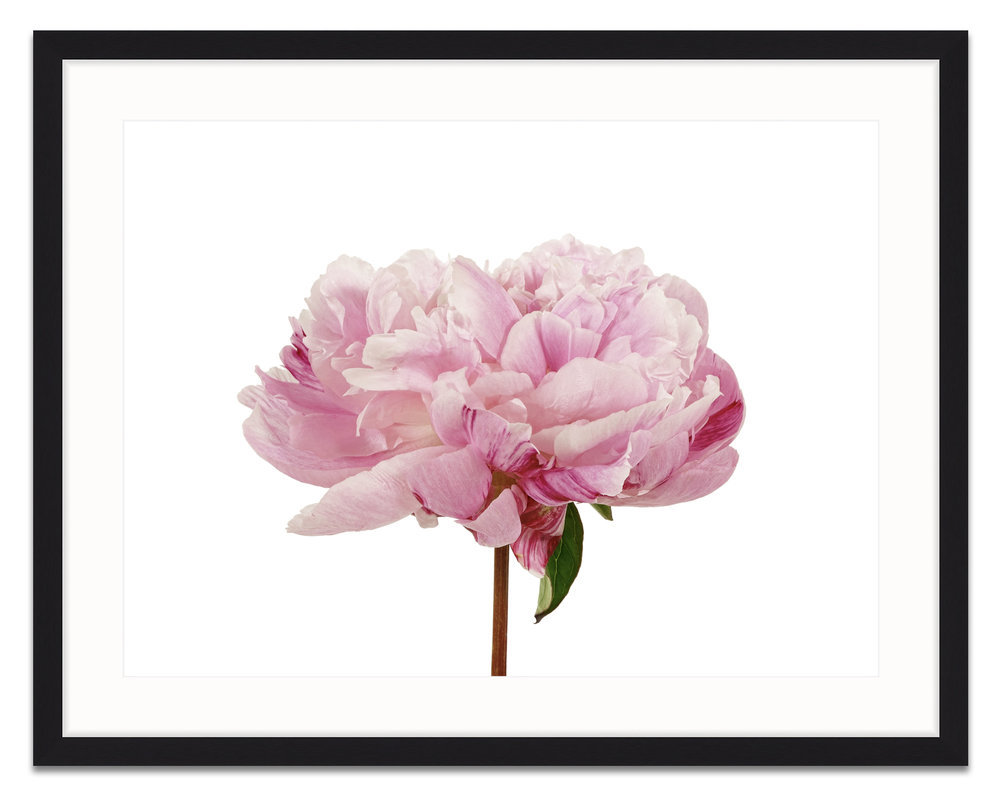cotton-candy-peony-framed.jpg