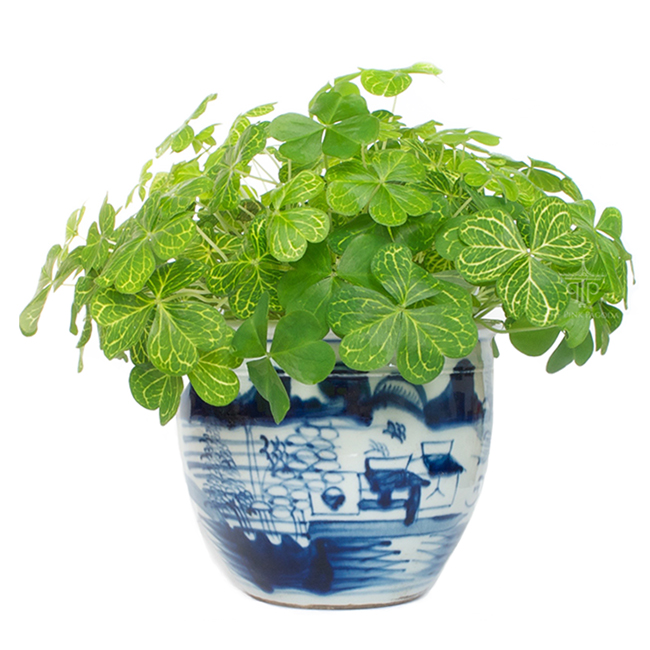 small-blue-and-white-planter-with-clover-plant.jpg