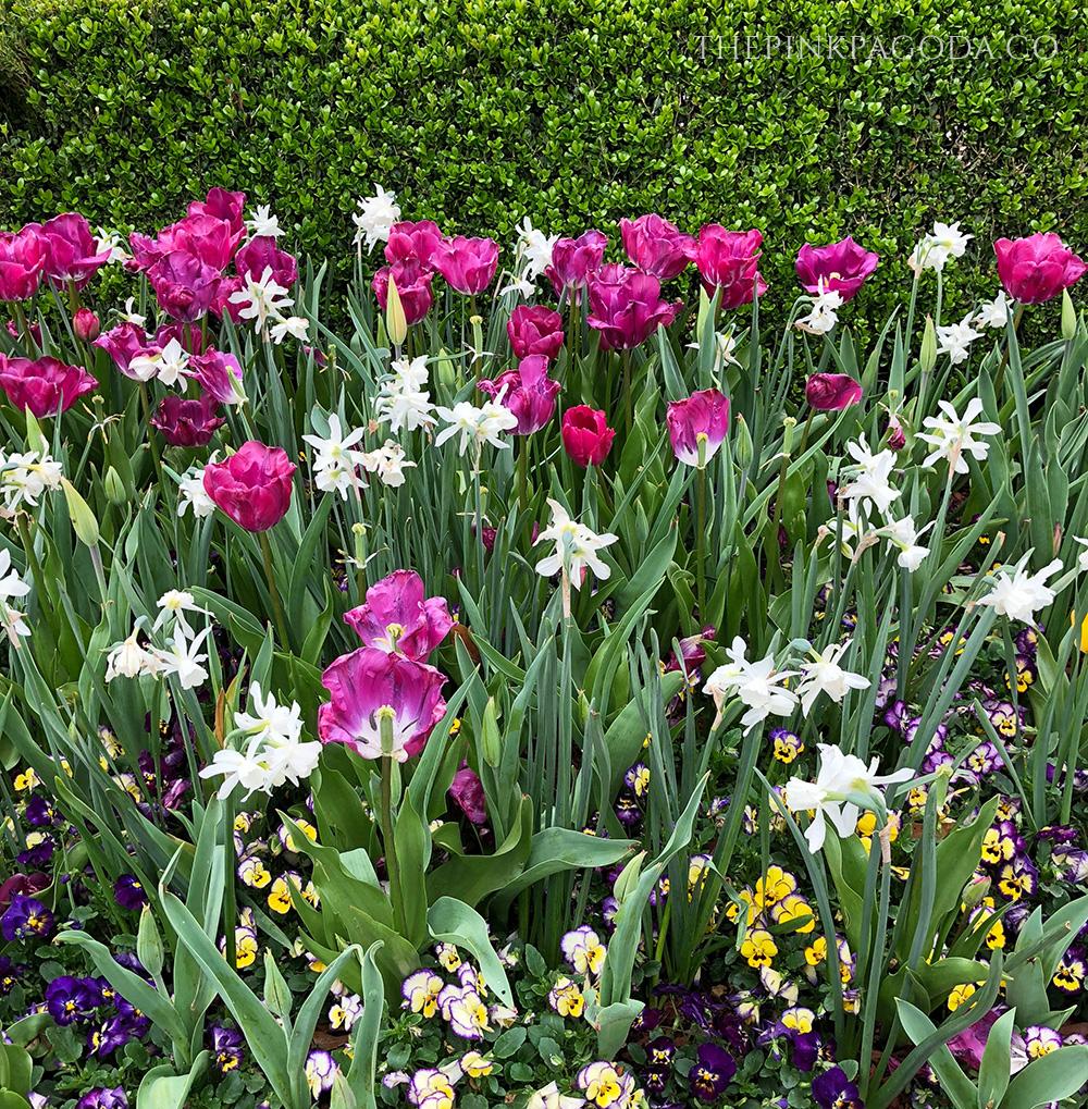 Purple pansies and magenta tulips at The Dallas Arboretum.