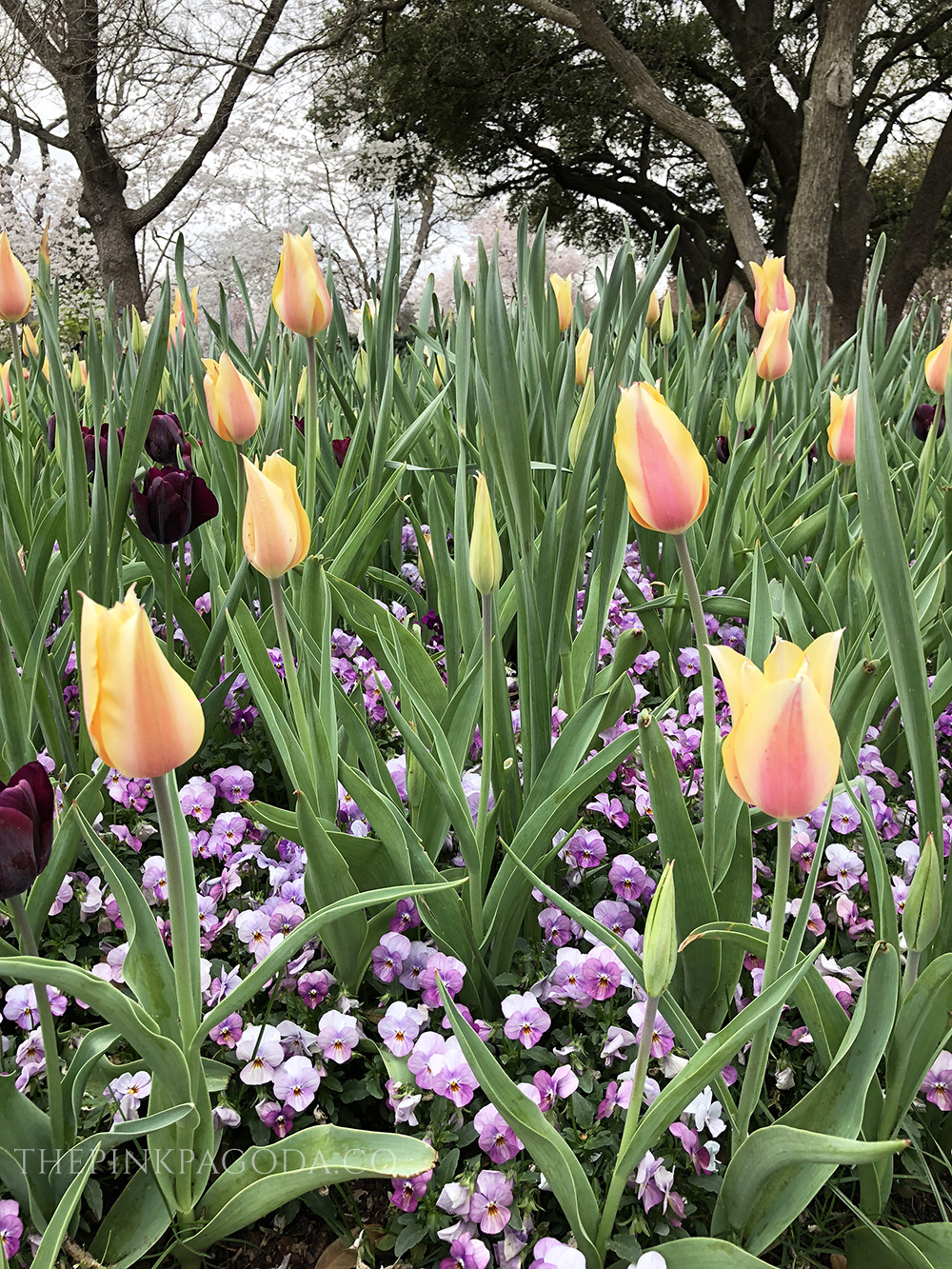 Interesting mix of tulips and pansies at The Dallas Arboretum and Botanical Garden.