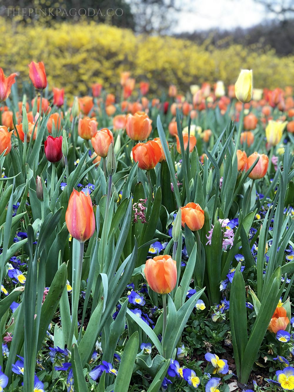 A sea of orange tulips at TheDallas Arboretum.