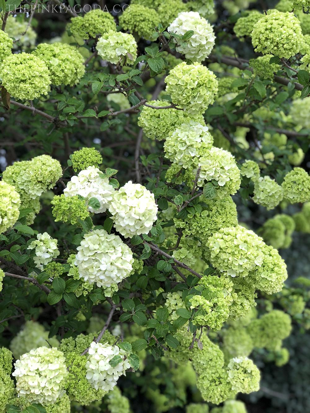 Gorgeous green Viburnum at The Dallas Arboretum.