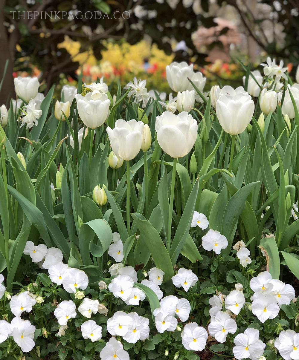 White pansies, tulips, and paperwhites -- so gorgeous together -- at The Dallas Arboretum.