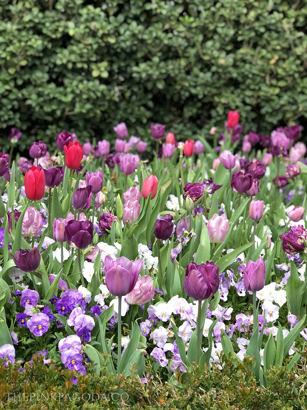 What a gorgeous mix of colored tulips at The Dallas Arboretum.