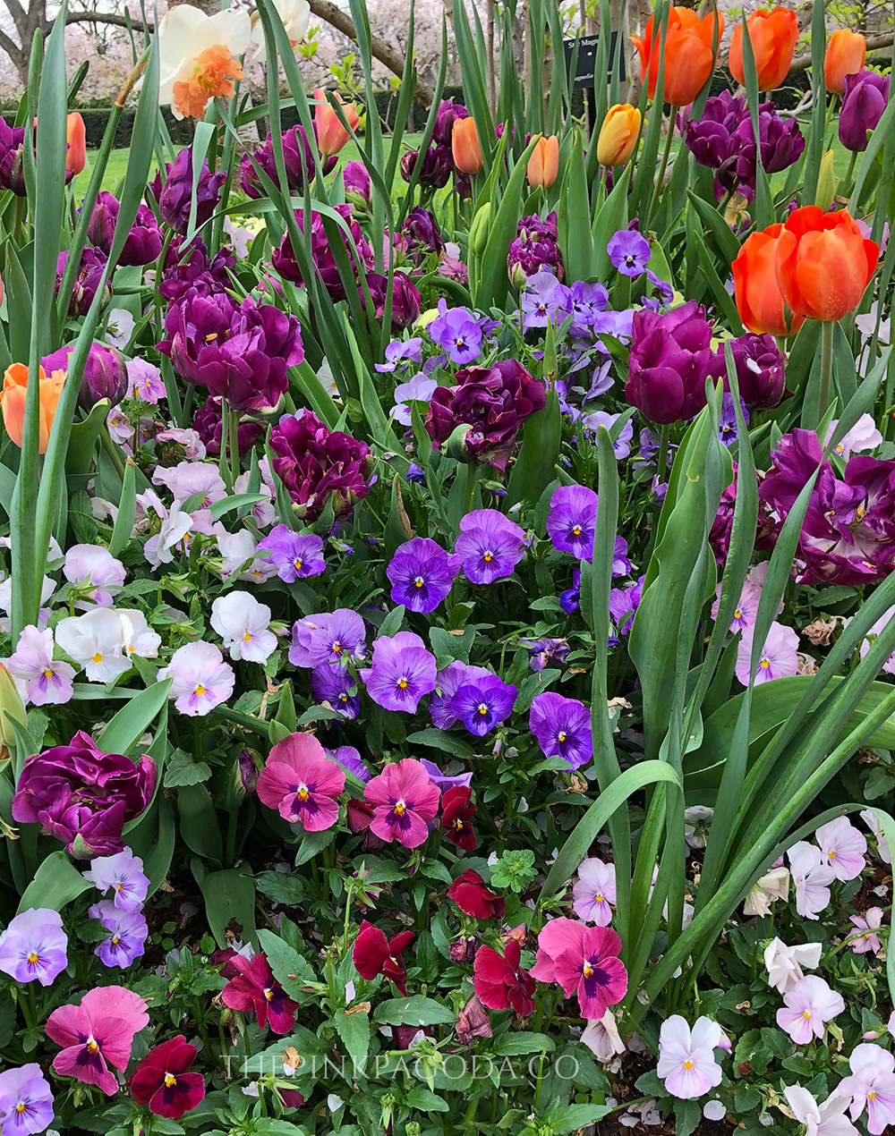 Pansies everywhere at The Dallas Arboretum and Botanical Garden.