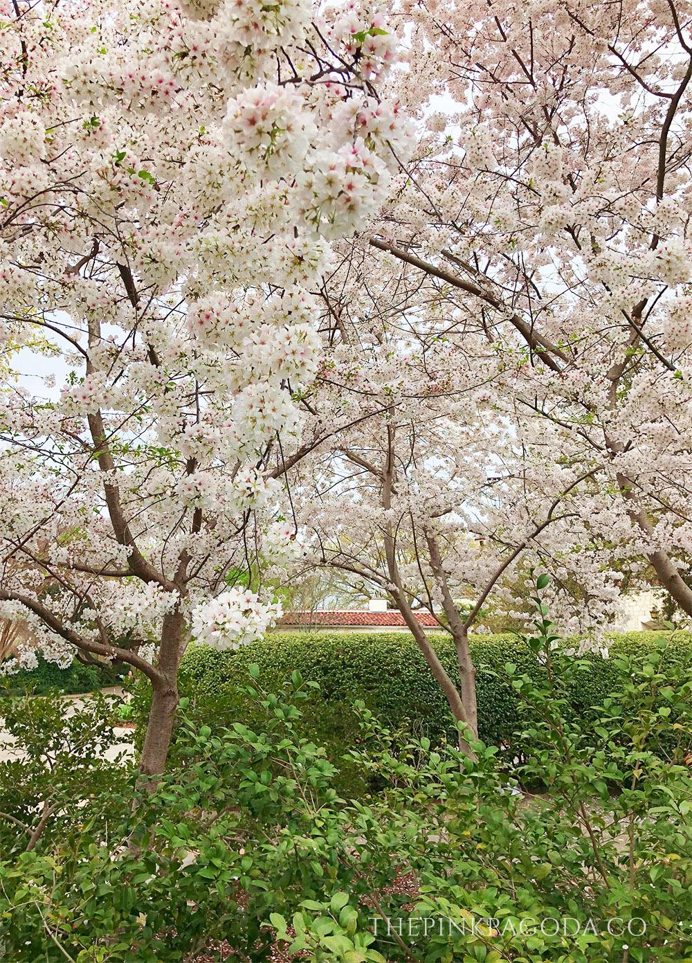 Beautiful cherry blossoms at The Dallas Arboretum.