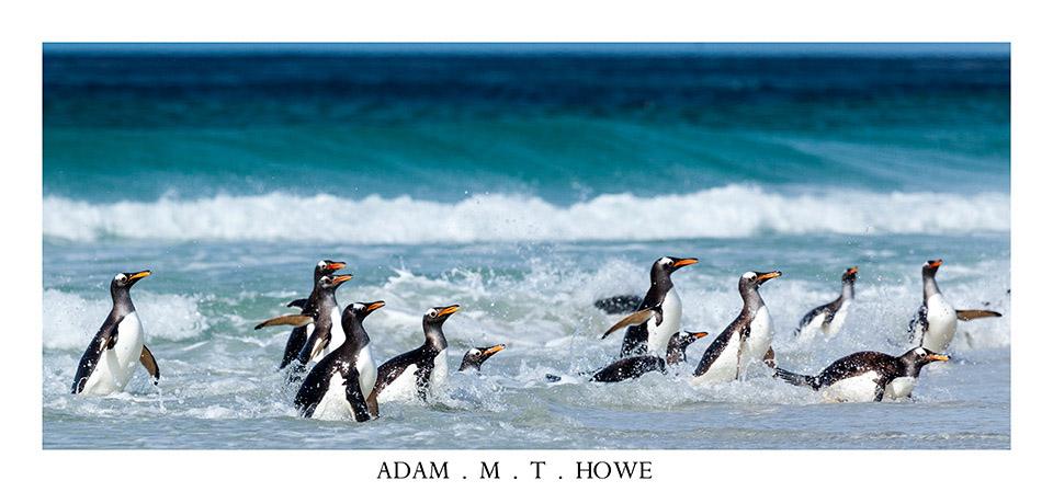 gentoo-penguin-falkland-islands-adam-howe-photography-158.jpg