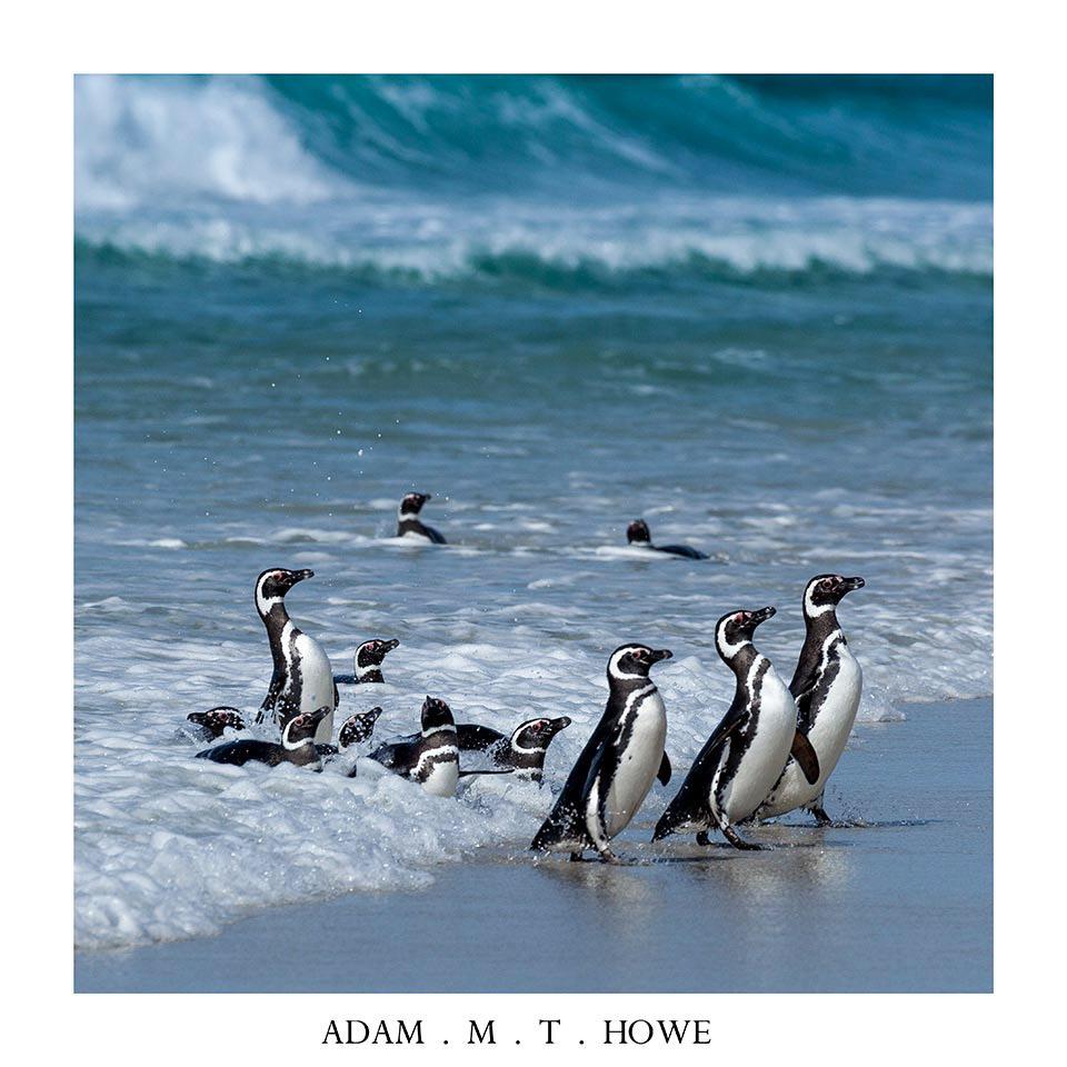 Magillanic-penguin-falkland-islands-jackass-adam-howe-photography-218.jpg