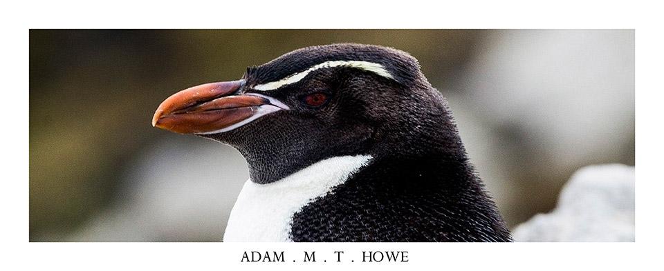 snares-crested-penguin-falkland-islands-adam-howe-photography-147.jpg