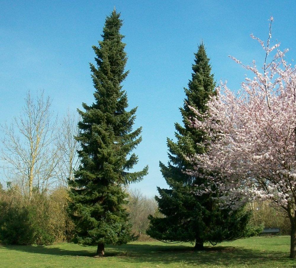 trees cr.JPG
