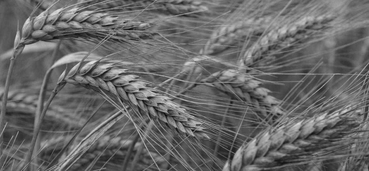 wheat-gluten-1238x576