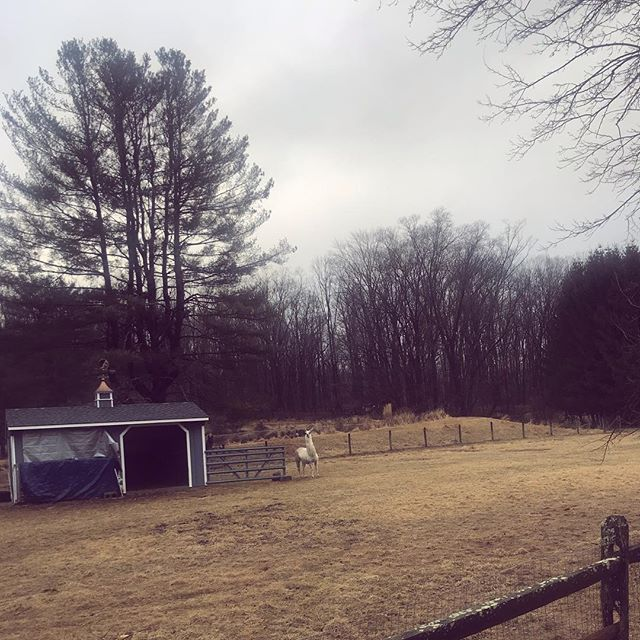 Home ft. Alpacas 🦙  #jerseygirl #thegreatvibesguide