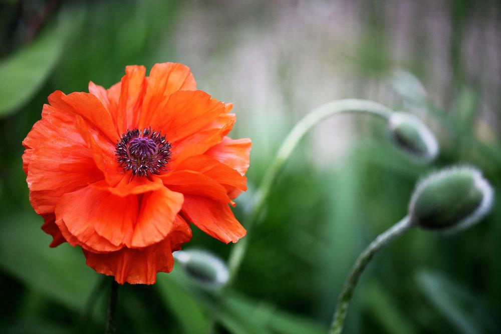 Poppy+8x12.jpg