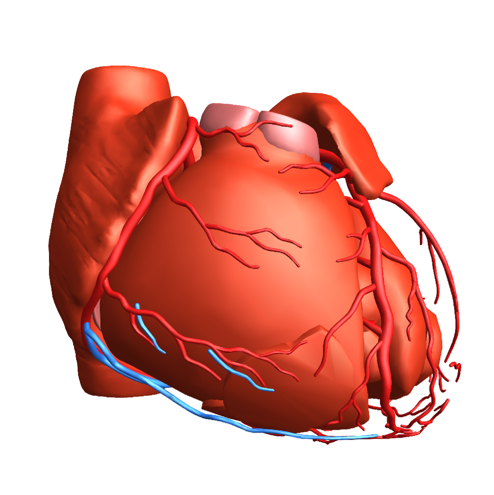 3D graphic of the heart