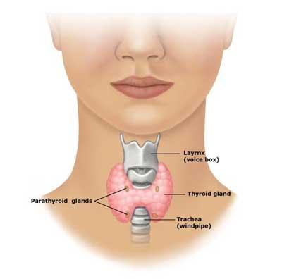 Thyroid-Gland-Location.jpg