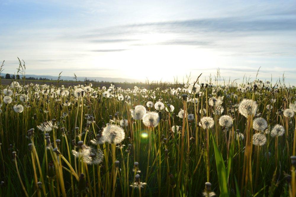 meadow-spring-dandelion.jpg
