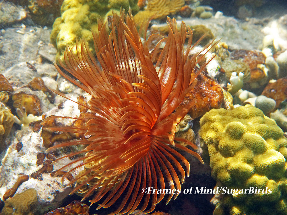Feather Duster, St. John, USVI