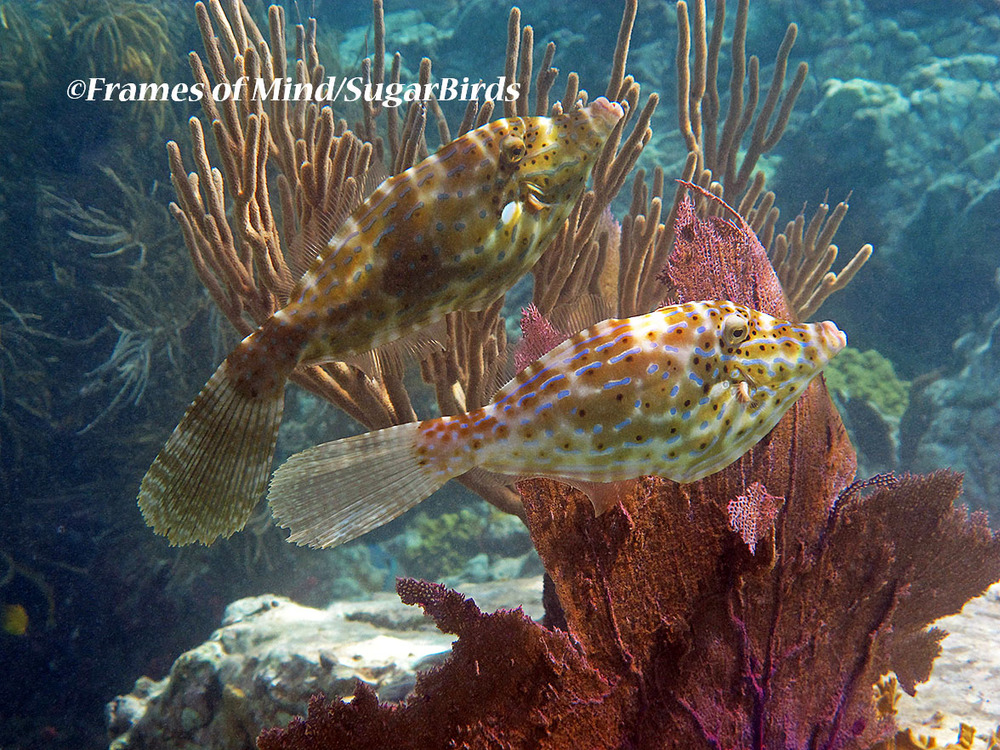 Scrawled Filefish, St. John, USVI