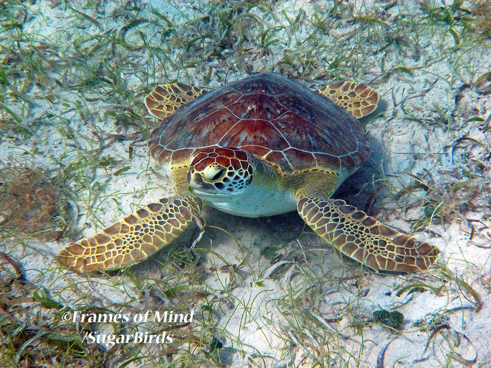 Turtle on Bottom, St. John, USVI