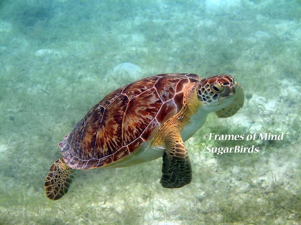 Goofy Turtle, St. John, USVI