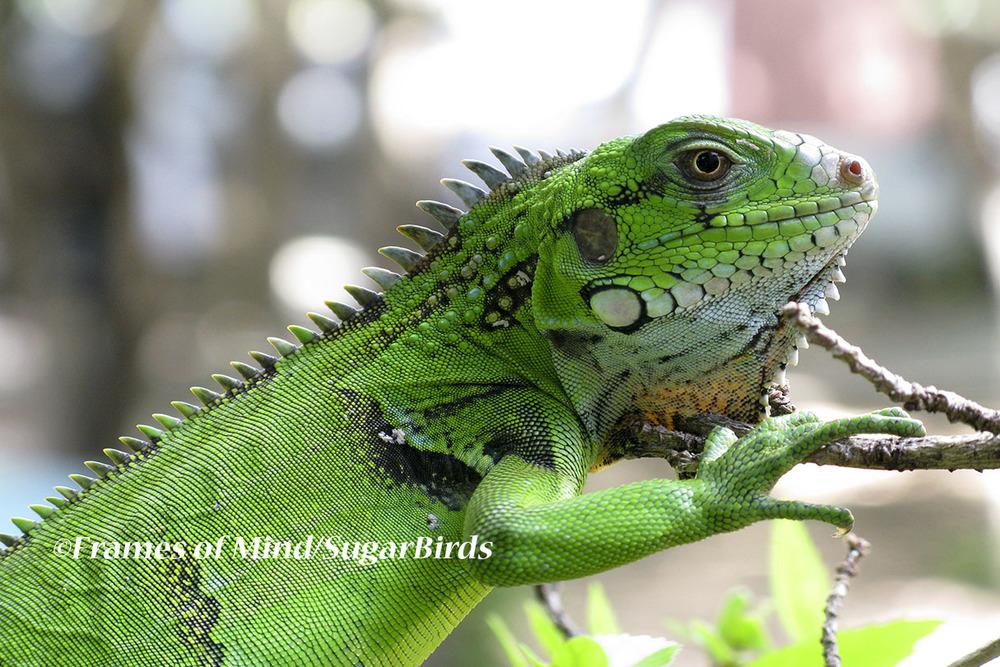 Young Iguana, St. John, USVI