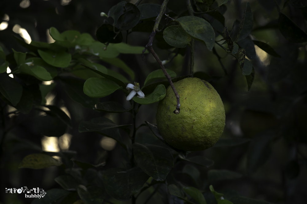 Lemon  A story-9.jpg