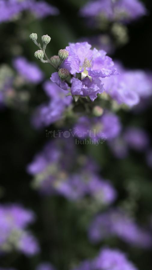 The Pride of India, Flowers-6.jpg