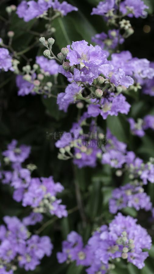 The Pride of India, Flowers-4.jpg