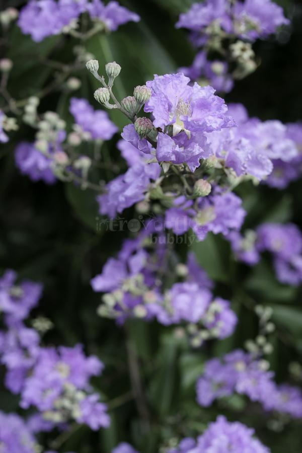 The Pride of India, Flowers-3.jpg