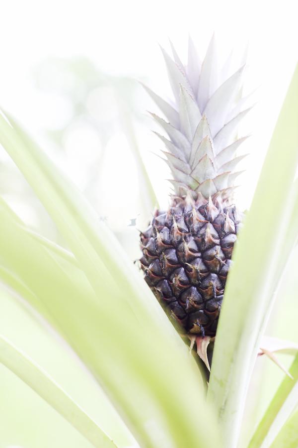 A pineapple story-3.jpg