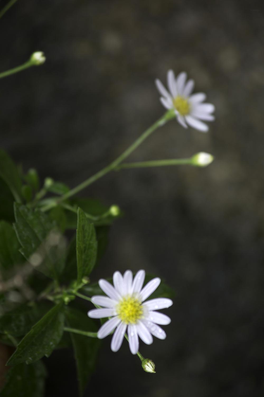 Flora and Fauna IntrovertlyBubbly Prints_A tiny daisy.jpg