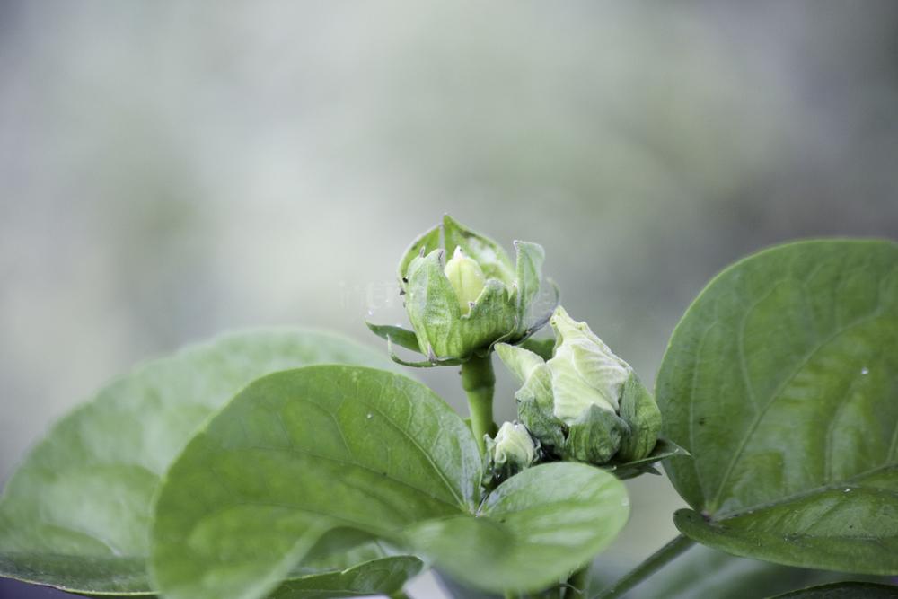 Hibiscus in the Yard-14.jpg