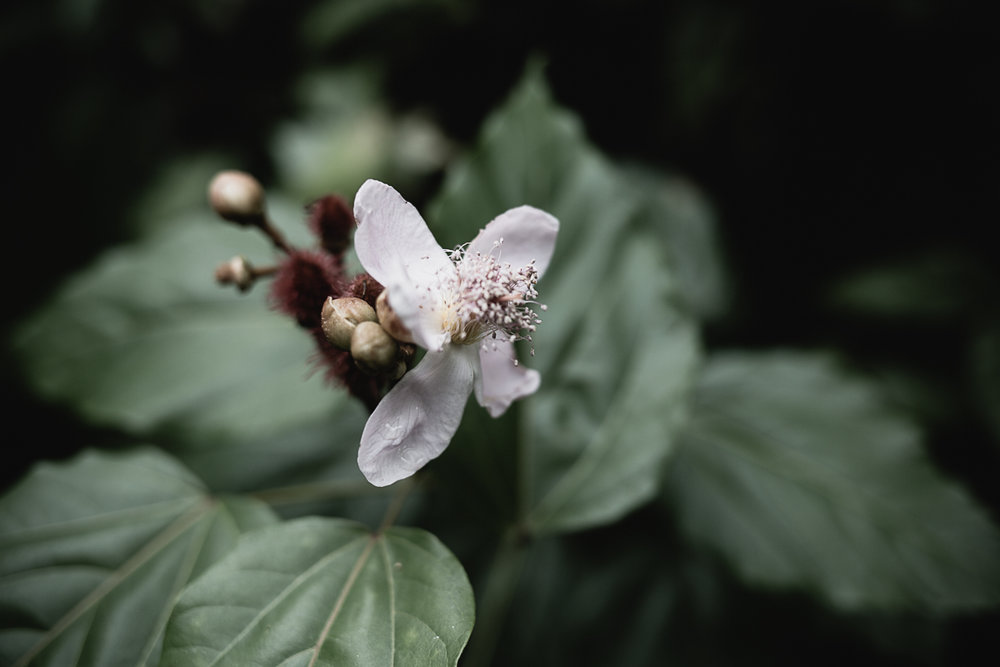 The flower from a Rocou Tree