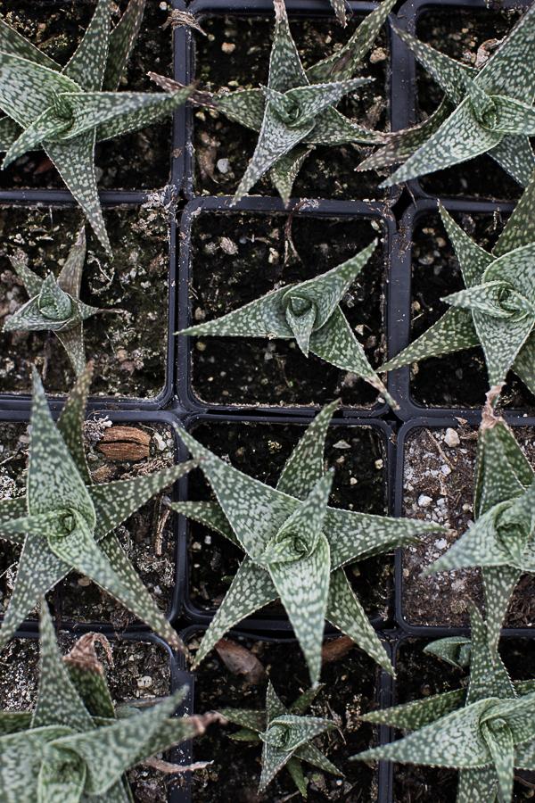 The Hybrid Aloe.