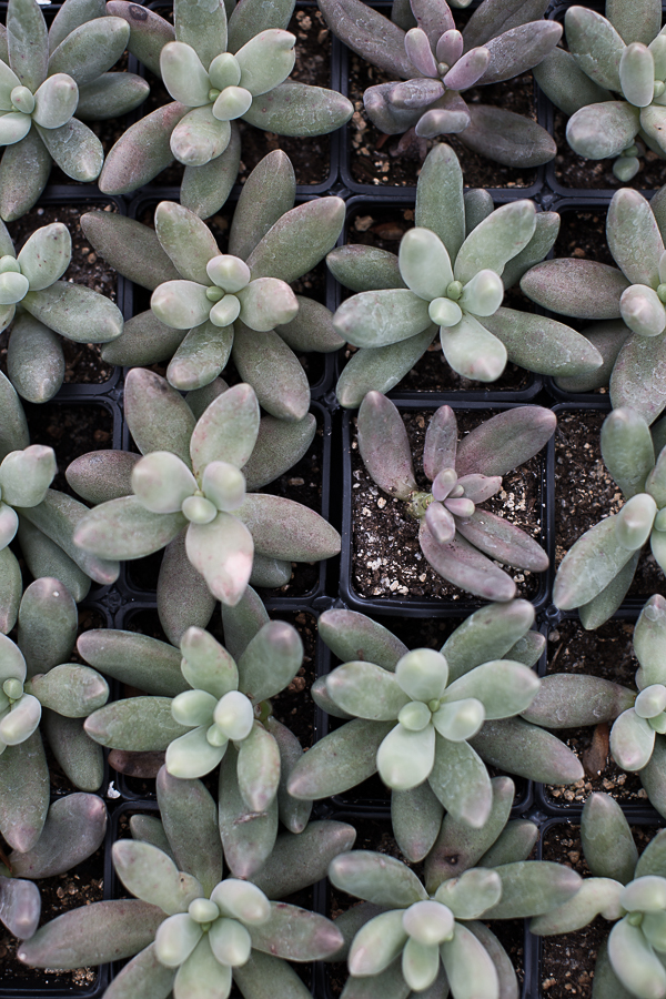 The Pachyphytum Fittkau.