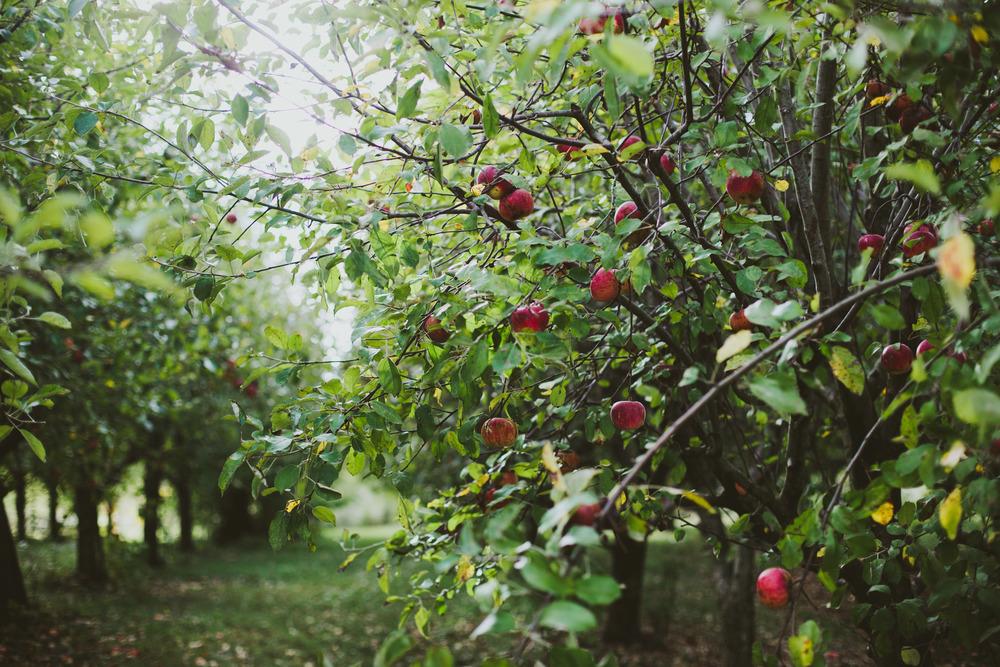 Apples-18.jpg