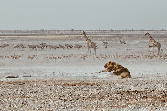 Nesse dia Bernard e eu fomos fazer safari no Etosha National Park na Namíbia. Saímos do camping decididos a achar leões. Após 20 min andando de carro pelo parque, que parece infinito, nos deparamos com esse lago. Nele havia dois leões e três leoas rodeados de zebras, girafas, antílopes, coyotes, avestruz e outros animais que nem saberia identificar a espécie. Foi emocionante! A curiosidade nos invadia e a ansiedade de vê-los em ação também. Era hipnotizante, não conseguia parar de olhá-los. Ficamos umas 5 horas observando-os. No ar se sentia uma tensão entre eles, impressionante o que representam na selva. A imponência deles é mto evidente. Enfim a natureza é tão linda, precisamos preserva-la 💛