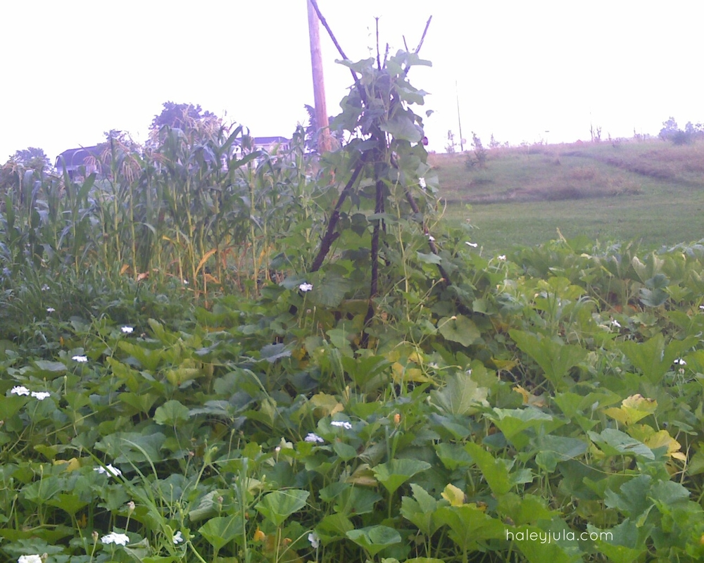 2010 Pole beans and squash
